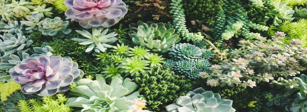 how-to-water-succulent-without-killing-them