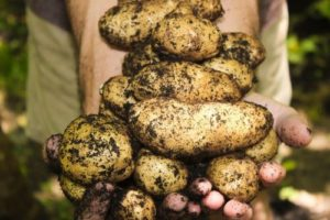 hands-full-of-potatoes-straight-from-the-garden