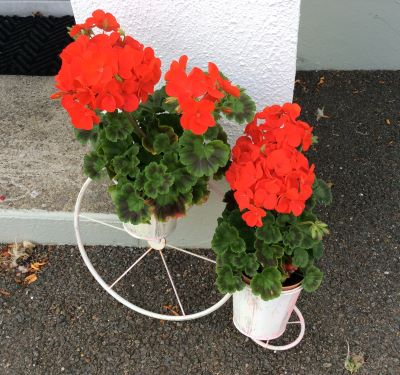 wheeled cycle with geranium flowers in pots attached to the wheels